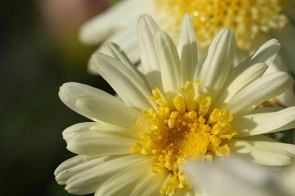 マーガレットの花言葉で昔の情熱を取り戻す7つの方法