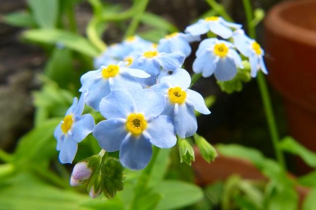 勿忘草の花言葉に潜む、中世ドイツの涙を誘う伝説とは?
