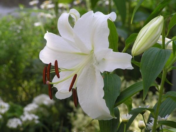 カサブランカの花言葉を知ると上品な振る舞いになる理由