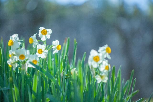 水仙の花言葉「ナルシスト」。その由来と本当の意味は?