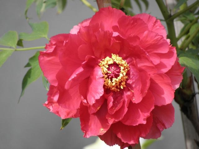 牡丹の花言葉を添えて贈った、女性の感動シーン7例