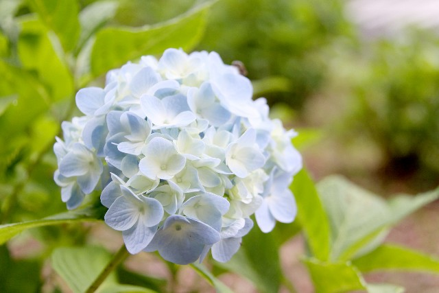 紫陽花の花言葉に気をつけて!結婚式でおススメの色とは