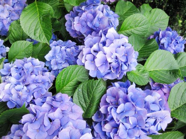紫陽花の花言葉は意外と移り気?その意味と由来