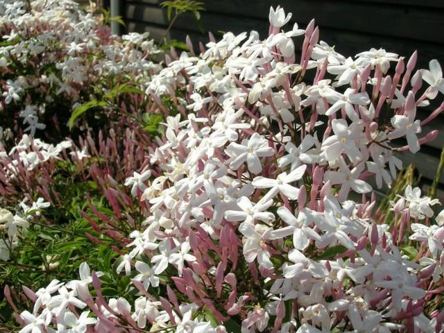ハゴロモジャスミンの花言葉が香りとともに心惹かれる理由