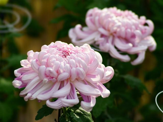 仏花を供えるマナーと花の選び方、7つのポイント