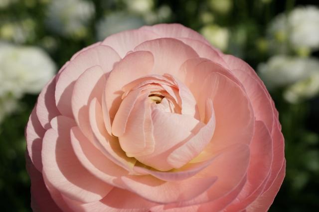ラナンキュラスの花言葉に成功のイメージが漂う7つの理由