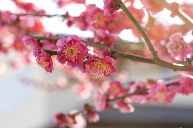 桜の花言葉まとめ☆品種ごとの意味と、開花時期を7つ紹介