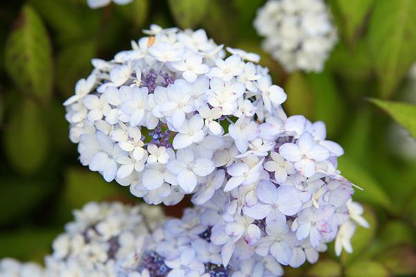 紫陽花の花言葉を気にせず結婚式の装花に使うため