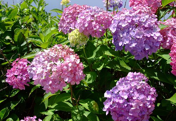 紫陽花の花言葉は浮気!?異性に送らないほうがいい花7種