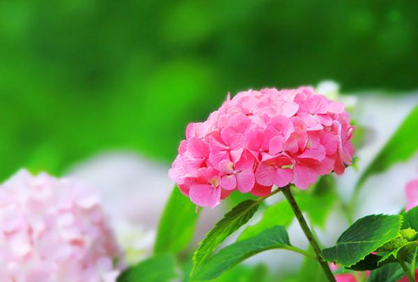 あじさいの花言葉☆ポジティブ・ネガティブな意味を7つ紹介