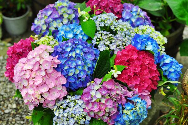 あじさいの花言葉まとめて紹介!花の色で違うその意味とは