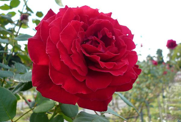 ばらの花を貰ったら☆長持ちする切り方・生け方7つの裏技