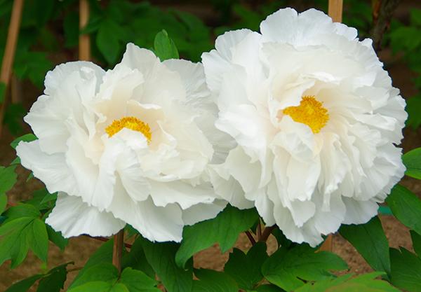 牡丹の花言葉は王者の風格!格好いい意味を持つ花7種