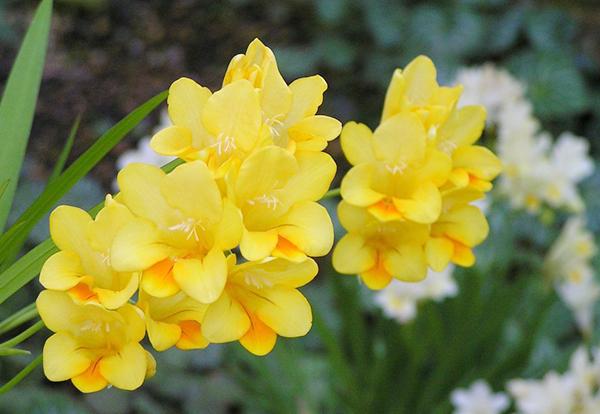 フリージアの花言葉♪花の色によって違います!由来を解説