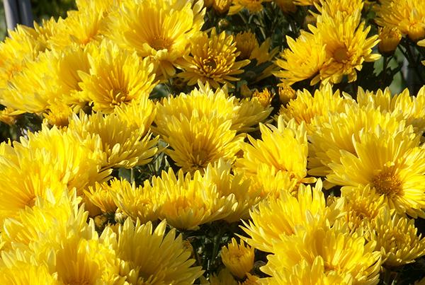 仏花を育ててお墓参りに持参したい!育てやすい7種を紹介