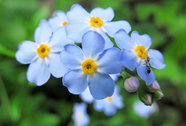 勿忘草の花言葉で愛を伝えたい☆恋愛にまつわる7つの花