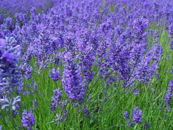 紫の花で心と体を穏やかに☆ラベンダーの効能と取り入れ方