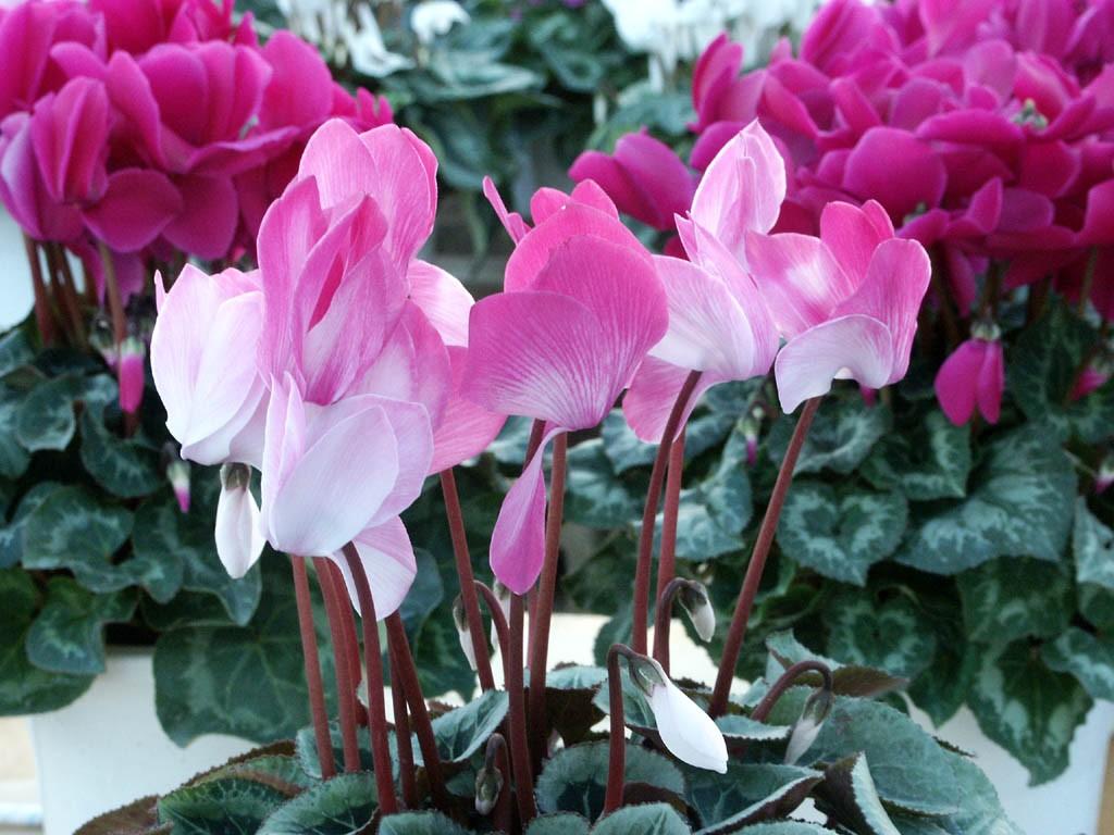 シクラメンの花言葉を贈る際に気をつけたい7つの注意点