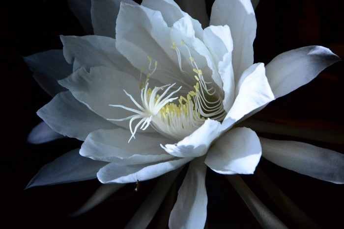 月下美人の花言葉やイメージに合わせた飾り方、7つのコツ