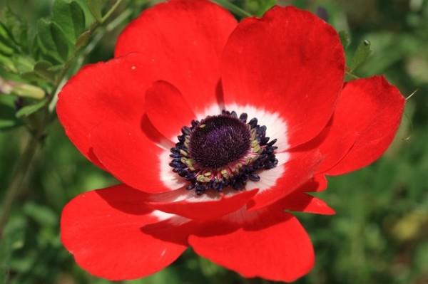 アネモネの花言葉☆花に込められた哀しい恋の伝説とは