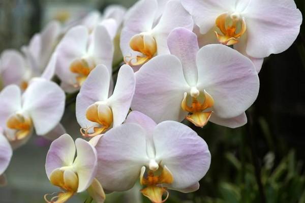 胡蝶蘭の値段と種類☆お祝いアレンジ7つの定番