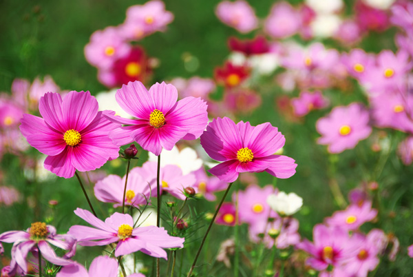 コスモスの花言葉を色別に解説☆恋心に響く7つの話