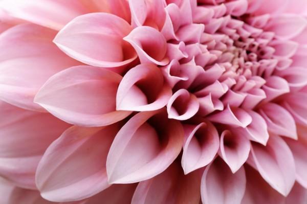 ダリアの花言葉で結婚式を彩る☆花嫁に贈る7つの豆知識