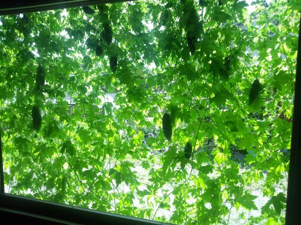 緑のカーテンに挑戦!初心者のおススメ7つの植物