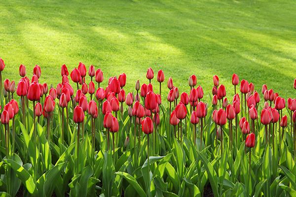 赤い花を咲かせたい☆育てやすい初心者向けおすすめ5品種