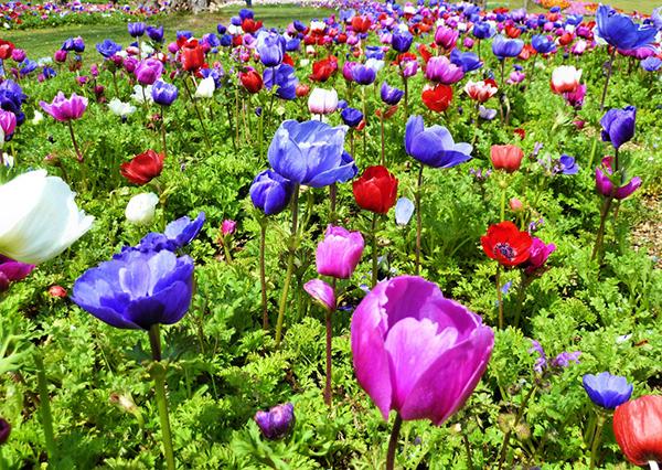 アネモネの花言葉は色で違う?起源や由来5つの豆知識
