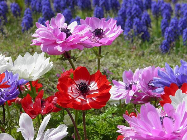 アネモネの花言葉☆色別の意味と贈りたいシチュエーション