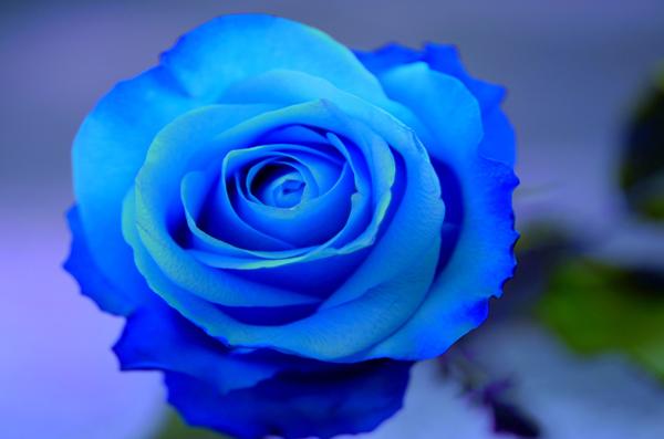 青いバラができるまで☆美しい青色の作り方・5つの手順