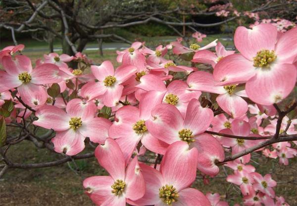 花水木を育てたい!栽培方法、お手入れの仕方のポイント☆