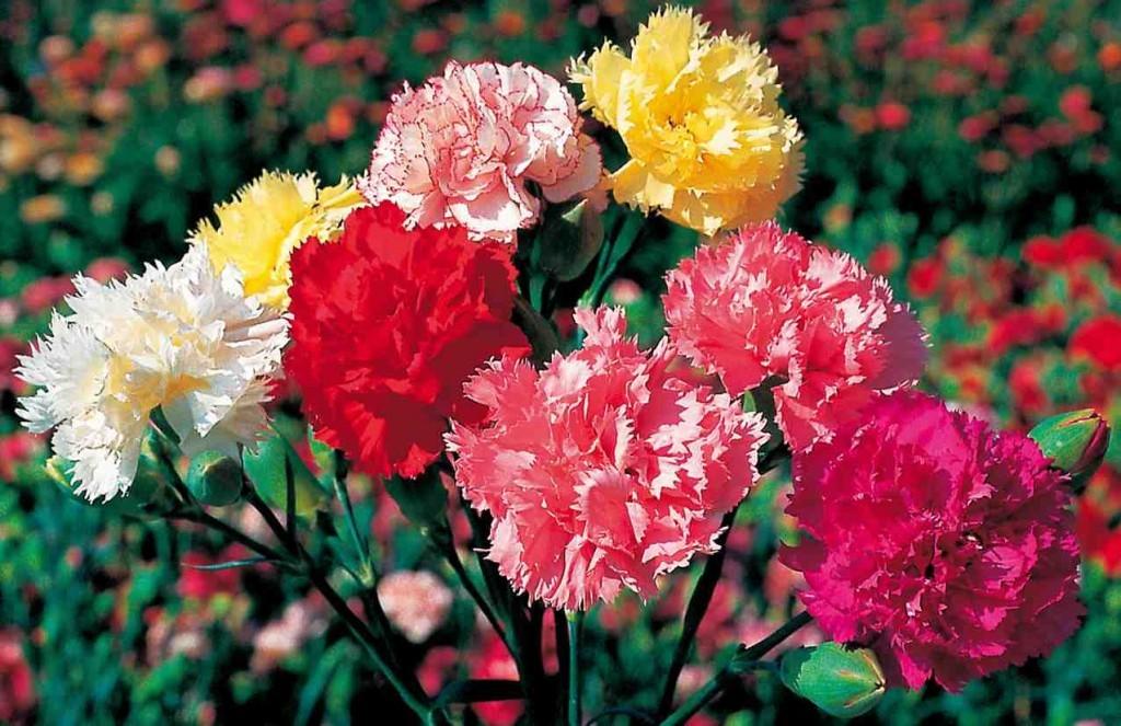 カーネーションを贈る☆色別7つ花言葉とおススメ品種