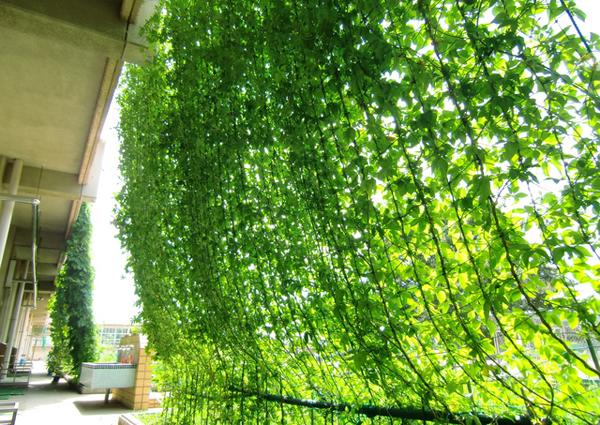緑のカーテンで夏を涼しく☆おススメの植物と育て方