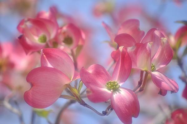花水木の花言葉はあなたへの返礼☆いつ咲く?6つの花情
