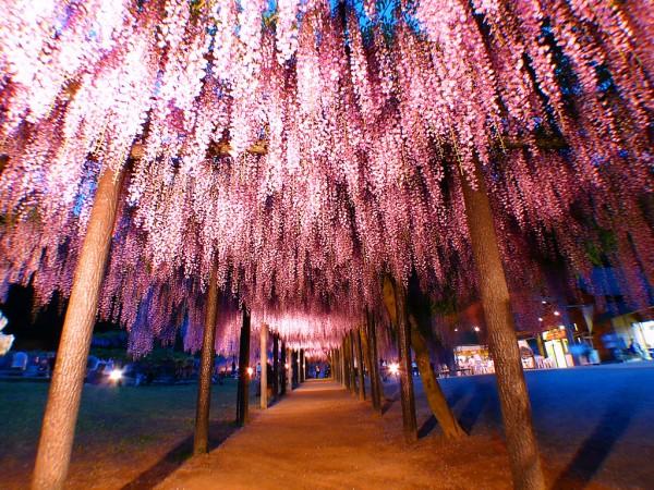 藤の花を楽しむ☆豆知識と観賞できる7つのポイント