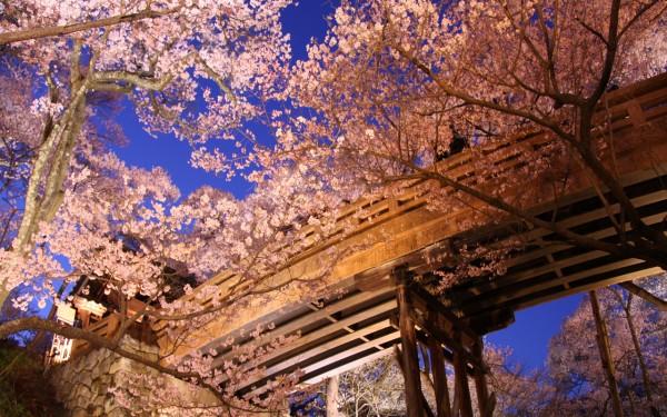 桜の種類とおすすめスポット☆花見を楽しむ観光地