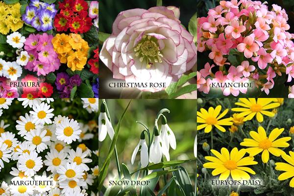 冬の花を育てる☆寒さに強く植えっぱなしの多年草