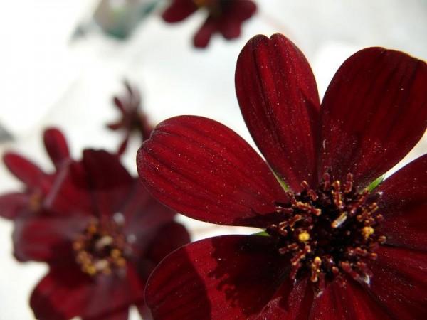 コスモスの花言葉☆人気チョコレートコスモスの贈り方