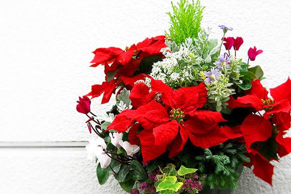 ポインセチアで彩る冬☆おすすめ7つの寄せ植え