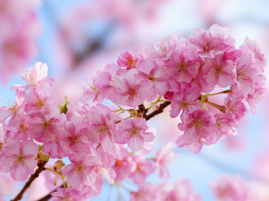 桜の種類と特徴☆花見前に知りたい7つの基礎知識