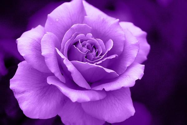 紫の花でシックに☆大人の女性に贈る花々と組み合わせ