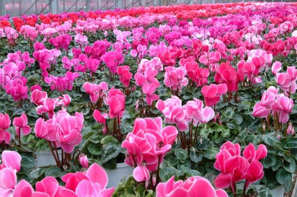 シクラメンが花言葉に関係なく不動の人気を保つ7つの理由