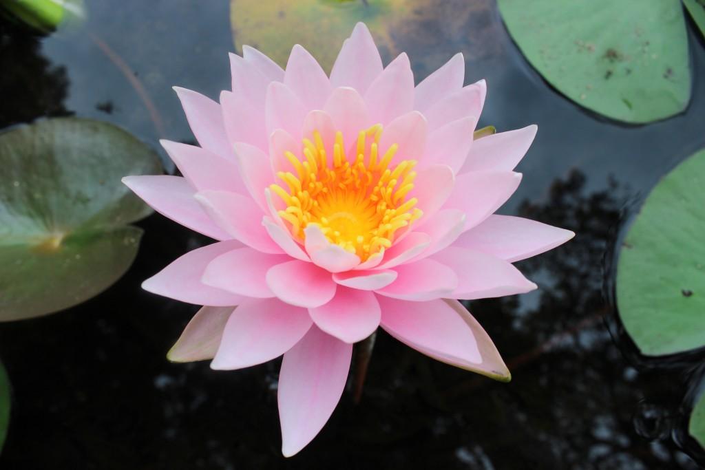 睡蓮の花言葉を使って恋の相手に気持ちを伝える7つの方法