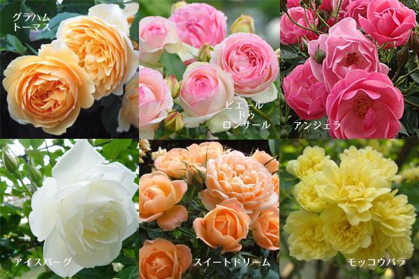 ガーデニング初心者おすすめ☆育てやすい7つの薔薇