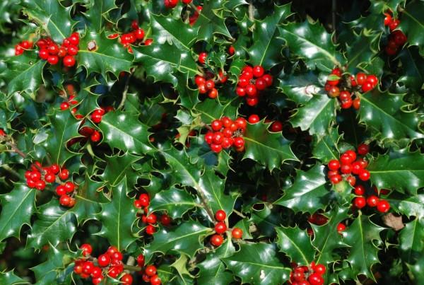 柊の花言葉が、クリスマスを彩るのにぴったりな7つの理由