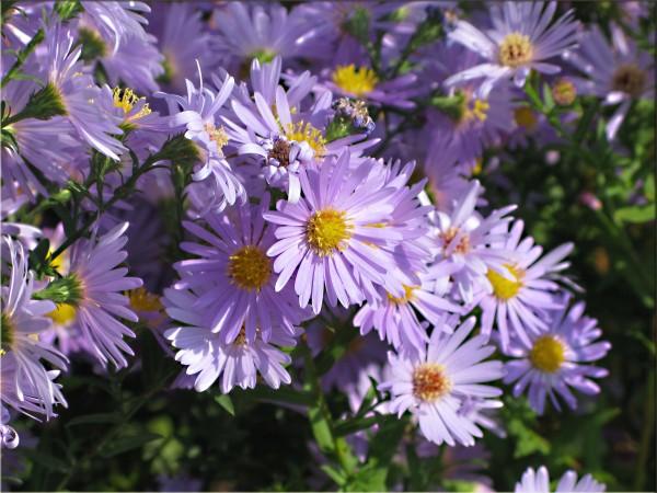 紫苑の花言葉で失恋相手にもう一度アタックする7つの方法