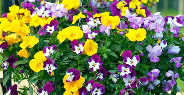 春の花で玄関を飾る☆人気コンテナの7つの寄せ植え