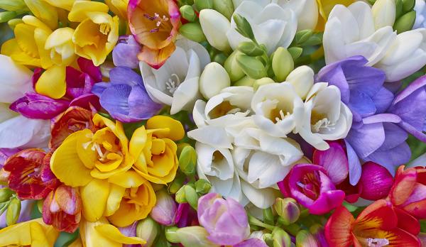 フリージアの花言葉で伝える恋心☆5つの色別花言葉